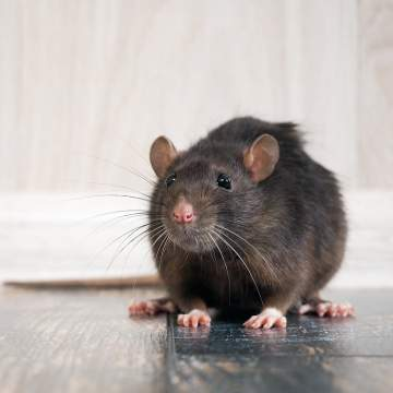 Est-ce que les crottes de rats sont dangereuses ?