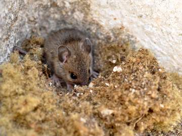 Intervention professionnelle contre les souris à Toulouse
